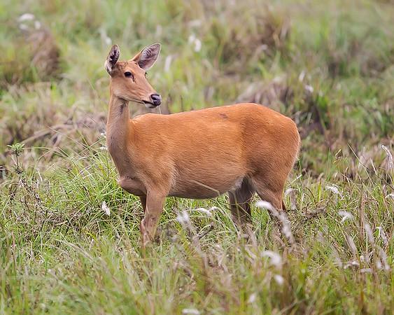 India Hog Deer