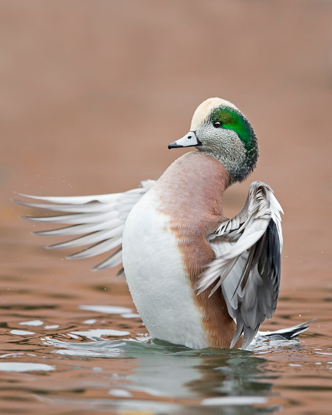 This photograph of a male American Widgeon duck was captured in Albuquerque, New Mexico (12/13). This photograph is protected by the U.S. Copyright Laws and shall not to be downloaded or reproduced by any means without the formal written permission of Ken Conger Photography.