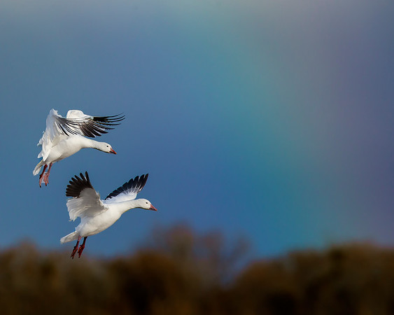 This snow geese with a fading rainbow photograph was captured in Bosque Del Apache National Wildlife Refuge, New Mexico (12/13).   This photograph is protected by the U.S. Copyright Laws and shall not to be downloaded or reproduced by any means without the formal written permission of Ken Conger Photography.