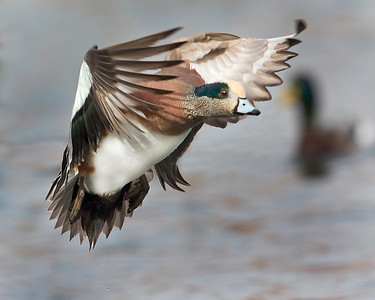 This photograph of a flying male American Widgeon duck was captured in Albuquerque, New Mexico (12/13). This photograph is protected by the U.S. Copyright Laws and shall not to be downloaded or reproduced by any means without the formal written permission of Ken Conger Photography.