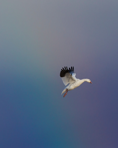 This snow goose with a fading rainbow photograph was captured in Bosque Del Apache National Wildlife Refuge, New Mexico (12/13).   This photograph is protected by the U.S. Copyright Laws and shall not to be downloaded or reproduced by any means without the formal written permission of Ken Conger Photography.