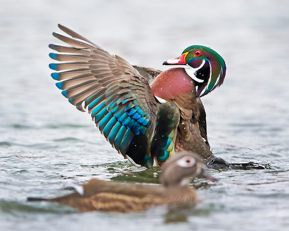 This photograph of a male wood duck was captured in Albuquerque, New Mexico (12/13). This photograph is protected by the U.S. Copyright Laws and shall not to be downloaded or reproduced by any means without the formal written permission of Ken Conger Photography.