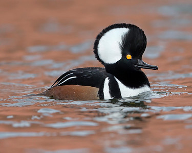 This photograph of a male hooded merganser duck was captured in Albuquerque, New Mexico (12/13). This photograph is protected by the U.S. Copyright Laws and shall not to be downloaded or reproduced by any means without the formal written permission of Ken Conger Photography.