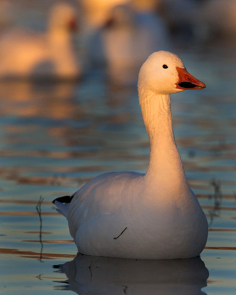 This snow goose photograph was captured in Bosque Del Apache National Wildlife Refuge, New Mexico (12/13).   This photograph is protected by the U.S. Copyright Laws and shall not to be downloaded or reproduced by any means without the formal written permission of Ken Conger Photography.
