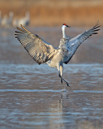 This photograph of a landing sandhill crane was captured in Bosque Del Apache National Wildlife Refuge, New Mexico (12/13).   This photograph is protected by the U.S. Copyright Laws and shall not to be downloaded or reproduced by any means without the formal written permission of Ken Conger Photography.