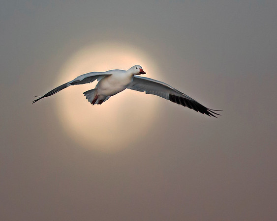 This photograph of a snow goose in front of the setting moon, just as sunrise was beginning, was captured in Bosque Del Apache National Wildlife Refuge, New Mexico (12/13).  Nothing was added to this image in Photoshop, just normal RAW adjustments and some additional shadow lightening to highlight the goose.   This photograph is protected by the U.S. Copyright Laws and shall not to be downloaded or reproduced by any means without the formal written permission of Ken Conger Photography.