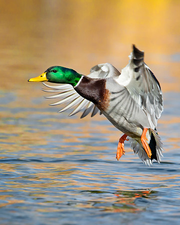 This photograph of a male mallard duck was captured in Albuquerque, New Mexico (12/13). This photograph is protected by the U.S. Copyright Laws and shall not to be downloaded or reproduced by any means without the formal written permission of Ken Conger Photography.