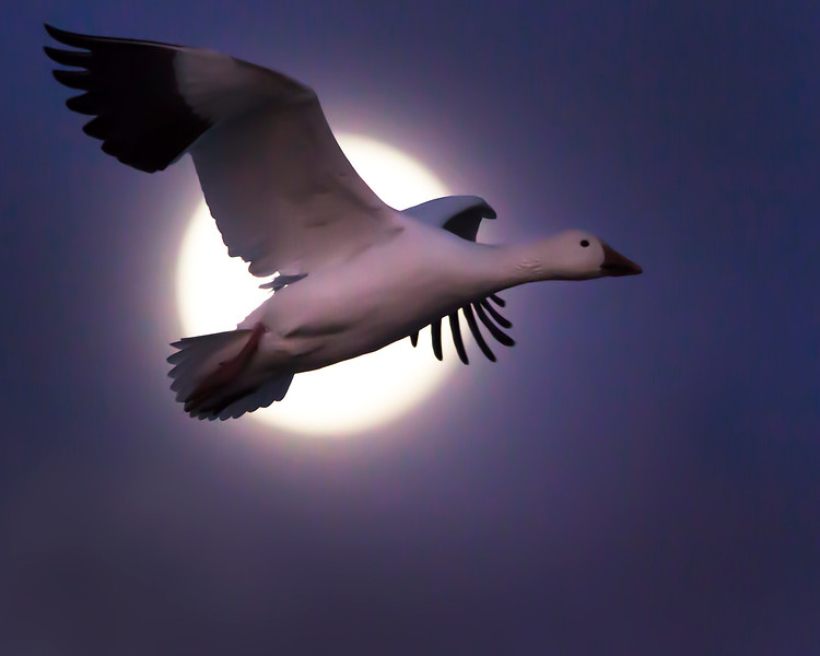 This snow goose in front of the setting moon photograph was captured in Bosque Del Apache National Wildlife Refuge, New Mexico (12/13).  Nothing was added to this image in Photoshop, just normal RAW adjustments and some additional shadow lightening to highlight the goose.   This photograph is protected by the U.S. Copyright Laws and shall not to be downloaded or reproduced by any means without the formal written permission of Ken Conger Photography.