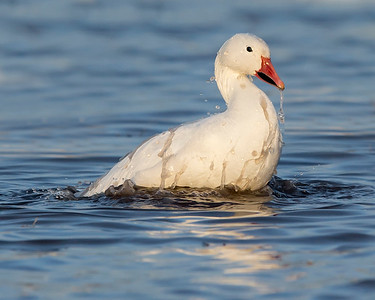 This photograph of a bathing snow goose was captured in Bosque Del Apache National Wildlife Refuge, New Mexico (12/13).   This photograph is protected by the U.S. Copyright Laws and shall not to be downloaded or reproduced by any means without the formal written permission of Ken Conger Photography.