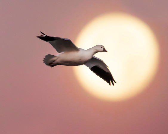 This photograph of a Ross's goose in front of the setting moon, just as sunrise was beginning, was captured in Bosque Del Apache National Wildlife Refuge, New Mexico (12/13).  Nothing was added to this image in Photoshop, just normal RAW adjustments and some additional shadow lightening to highlight the goose.   This photograph is protected by the U.S. Copyright Laws and shall not to be downloaded or reproduced by any means without the formal written permission of Ken Conger Photography.