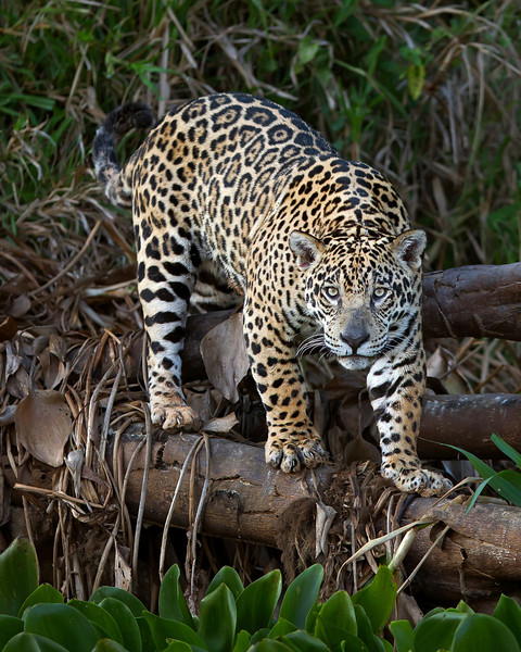 This photograph of a Jaguar was captured in the Pantanal area of Brazil (8/12). The special eye contact, position on the log and surrounding habitat made this my favorite image of the trip.  This photograph is protected by the U.S. Copyright Laws and shall not to be downloaded or reproduced by any means without the formal written permission of Ken Conger Photography.