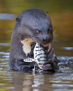 This photograph of a Giant River Otter enjoying a freshly caught Pintado was captured in the Pantanal, Brazil (8/11).  This photograph is protected by the U.S. Copyright Laws and shall not to be downloaded or reproduced by any means without the formal written permission of Ken Conger Photography.