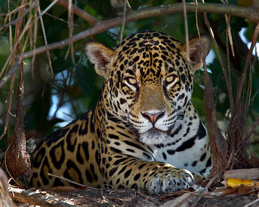 This Jaguar photograph was captured in the Pantanal, Brazil (8/11).  This photograph is protected by the U.S. Copyright Laws and shall not to be downloaded or reproduced by any means without the formal written permission of Ken Conger Photography.