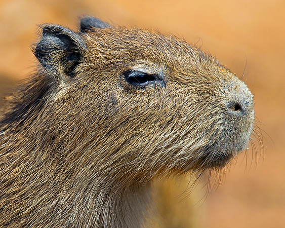 This portrait photograph of a young Cabybara was captured in the Pantanal, Brazil (8/11).  This photograph is protected by the U.S. Copyright Laws and shall not to be downloaded or reproduced by any means without the formal written permission of Ken Conger Photography.