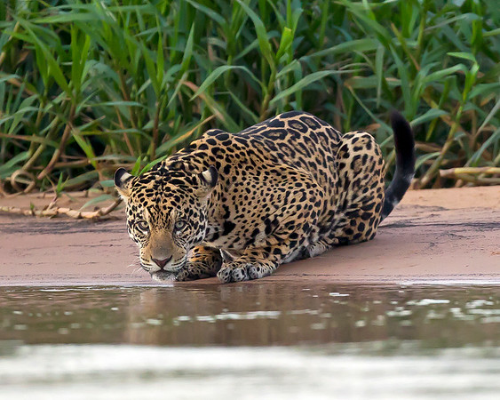 This drinking Jaguar photograph was captured in the Pantanal, Brazil (8/11).  This photograph is protected by the U.S. Copyright Laws and shall not to be downloaded or reproduced by any means without the formal written permission of Ken Conger Photography.