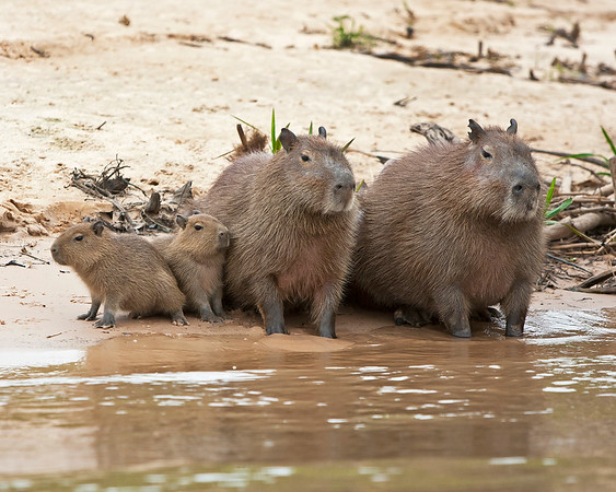 This photograph of a Cabybara family was captured in the Pantanal, Brazil (8/11).  This photograph is protected by the U.S. Copyright Laws and shall not to be downloaded or reproduced by any means without the formal written permission of Ken Conger Photography.