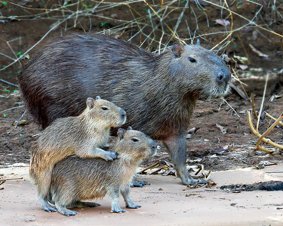 This photograph of a Cabybara family was captured in the Pantanal area of Brazil (8/12).  This photograph is protected by the U.S. Copyright Laws and shall not to be downloaded or reproduced by any means without the formal written permission of Ken Conger Photography.