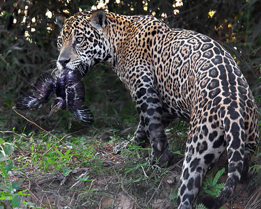 This photograph of a Jaguar with a recent kill of a baby Limpkin was captured in the Pantanal, Brazil (8/11).  This photograph is protected by the U.S. Copyright Laws and shall not to be downloaded or reproduced by any means without the formal written permission of Ken Conger Photography.