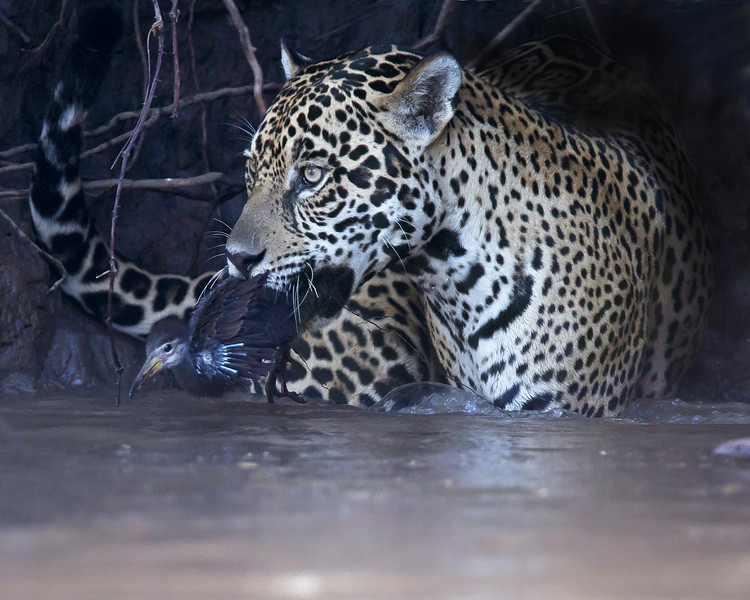 This photograph of a Jaguar with a recently caught juvenile Limpkin was captured in the Pantanal, Brazil (8/11).  This photograph is protected by the U.S. Copyright Laws and shall not to be downloaded or reproduced by any means without the formal written permission of Ken Conger Photography.