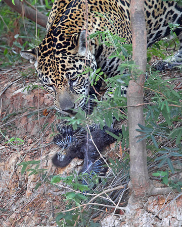 """Last 3 Seconds of Life"". This photograph of a Jaguar about to make a kill of a baby Limpkin was captured in the Pantanal, Brazil (8/11).  This photograph is protected by the U.S. Copyright Laws and shall not to be downloaded or reproduced by any means without the formal written permission of Ken Conger Photography."