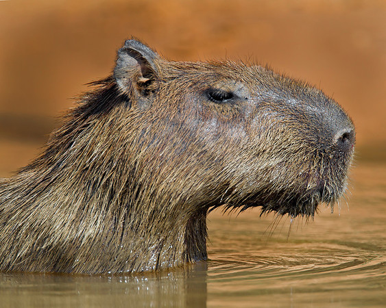 This portrait photograph of an adult Cabybara was captured in the Pantanal, Brazil (8/11).  This photograph is protected by the U.S. Copyright Laws and shall not to be downloaded or reproduced by any means without the formal written permission of Ken Conger Photography.