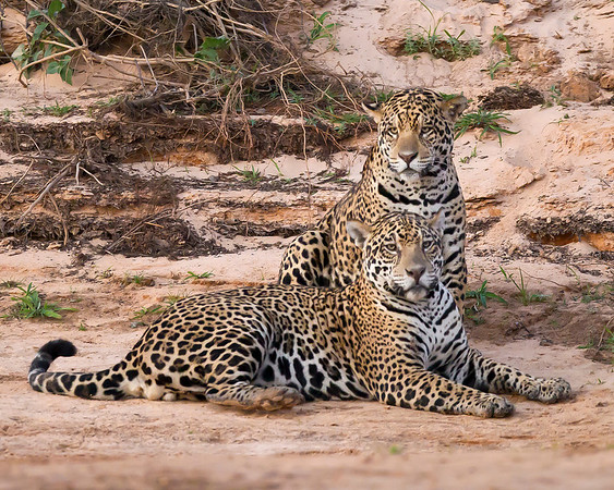This photograph of pair of Jaguars on a beach was captured in the Pantanal, Brazil (8/11).  This photograph is protected by the U.S. Copyright Laws and shall not to be downloaded or reproduced by any means without the formal written permission of Ken Conger Photography.