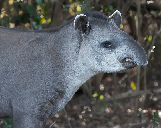 This Tapir photograph was captured in the Pantanal, Brazil (8/11).  This photograph is protected by the U.S. Copyright Laws and shall not to be downloaded or reproduced by any means without the formal written permission of Ken Conger Photography.