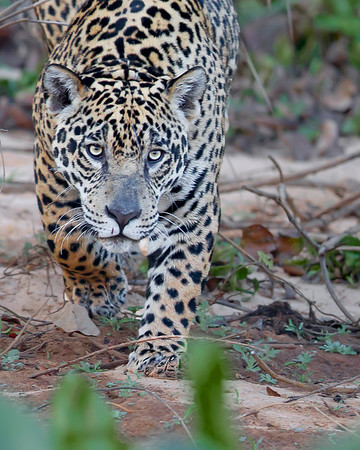 This photograph of a stalking Jaguar was captured in the Pantanal area of Brazil (8/12).  This photograph is protected by the U.S. Copyright Laws and shall not to be downloaded or reproduced by any means without the formal written permission of Ken Conger Photography.