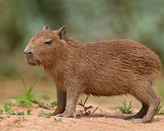 This photograph of a new born Cabybara was captured in the Pantanal, Brazil (8/11).  This photograph is protected by the U.S. Copyright Laws and shall not to be downloaded or reproduced by any means without the formal written permission of Ken Conger Photography.