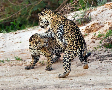 This photograph of clashing Jaguars on a beach was captured in the Pantanal, Brazil (8/11).  This photograph is protected by the U.S. Copyright Laws and shall not to be downloaded or reproduced by any means without the formal written permission of Ken Conger Photography.