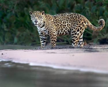This photograph of a Jaguar was captured in the Pantanal area of Brazil (8/12).  This photograph is protected by the U.S. Copyright Laws and shall not to be downloaded or reproduced by any means without the formal written permission of Ken Conger Photography.