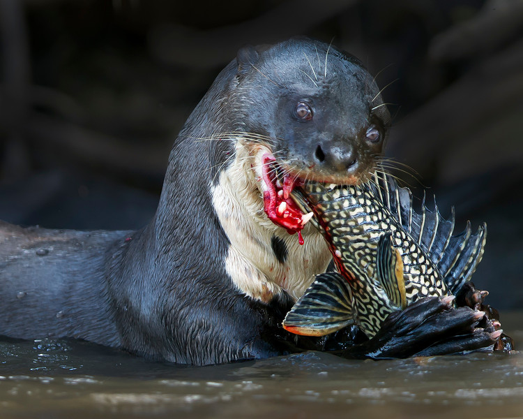 This photograph of a Giant Otter eating a fish was captured in the Pantanal area of Brazil (8/12).  This photograph is protected by the U.S. Copyright Laws and shall not to be downloaded or reproduced by any means without the formal written permission of Ken Conger Photography.
