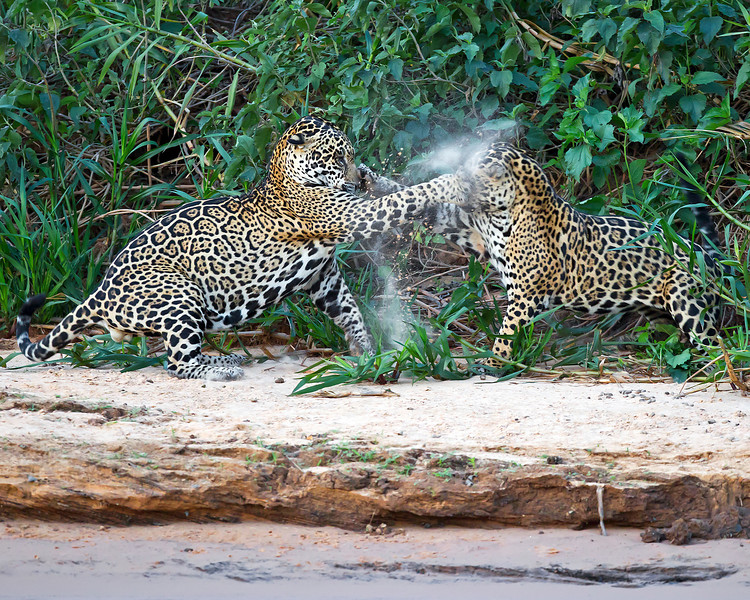 This photograph of clashing Jaguars was captured in the Pantanal, Brazil (8/11).  This photograph is protected by the U.S. Copyright Laws and shall not to be downloaded or reproduced by any means without the formal written permission of Ken Conger Photography.