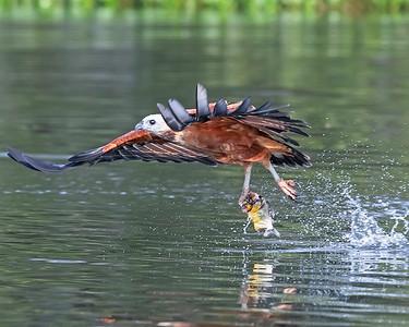Pantanal Black-collared Hawk