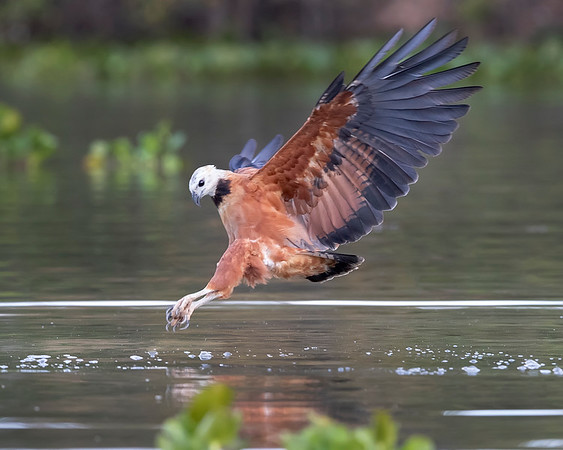 Pantanal Black-collared Hawk