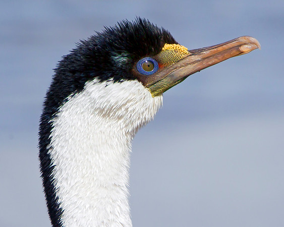 This photograph of a Imperial (King/Blue-eyed) Cormorant was captured in the Patagonia area of Chile (1/12).  This photograph is protected by the U.S. Copyright Laws and shall not to be downloaded or reproduced by any means without the formal written permission of Ken Conger Photography.