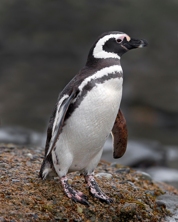 This photograph of a Magellanic Penguin was captured in the Patagonia area of Chile (1/12).  This photograph is protected by the U.S. Copyright Laws and shall not to be downloaded or reproduced by any means without the formal written permission of Ken Conger Photography.