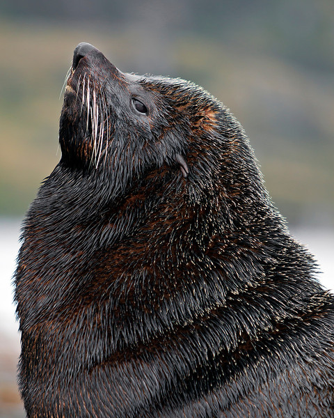 This photograph of a South American Fur Seal was captured in the Patagonia area of Chile (1/12).  This photograph is protected by the U.S. Copyright Laws and shall not to be downloaded or reproduced by any means without the formal written permission of Ken Conger Photography.