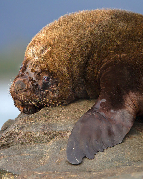 This photograph of a male South American Sea Lion was captured in the Patagonia area of Chile (1/12).  This photograph is protected by the U.S. Copyright Laws and shall not to be downloaded or reproduced by any means without the formal written permission of Ken Conger Photography.