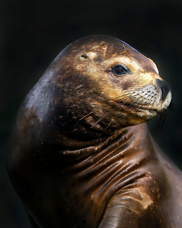 This photograph of a female South American Sea Lion was captured in the Patagonia area of Chile (1/12).  Note: background intentionally blacked out using Photoshop CS5.    This photograph is protected by the U.S. Copyright Laws and shall not to be downloaded or reproduced by any means without the formal written permission of Ken Conger Photography.