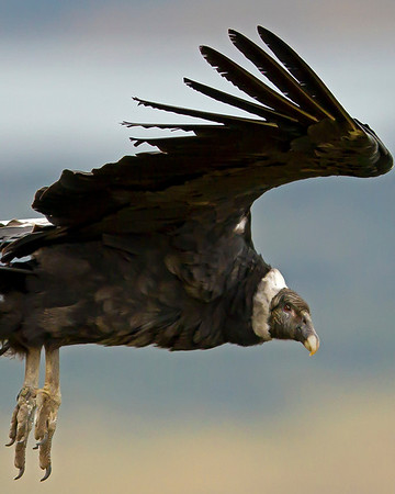 This photograph of a Andean Condor was captured in the Patagonia area of Chile (1/12).  This photograph is protected by the U.S. Copyright Laws and shall not to be downloaded or reproduced by any means without the formal written permission of Ken Conger Photography.