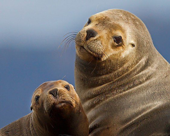 This photograph of a mother and new born South American Sea Lion was captured in the Patagonia area of Chile (1/12). This photograph is protected by the U.S. Copyright Laws and shall not to be downloaded or reproduced by any means without the formal written permission of Ken Conger Photography.
