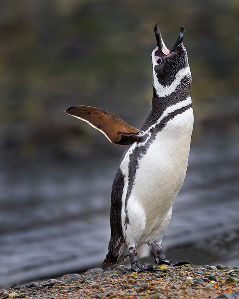 This photograph of a calling Magellanic Penguin was captured in the Patagonia area of Chile (1/12). This photograph is protected by the U.S. Copyright Laws and shall not to be downloaded or reproduced by any means without the formal written permission of Ken Conger Photography.