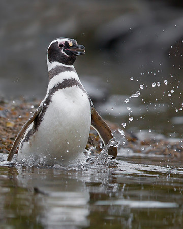 This photograph of a Magellanic Penguin getting ready to dive into the water was captured in the Patagonia area of Chile (1/12).  This photograph is protected by the U.S. Copyright Laws and shall not to be downloaded or reproduced by any means without the formal written permission of Ken Conger Photography.
