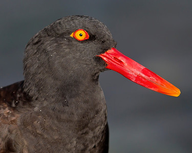This photograph of a Black Oyster Catcher was captured in the Patagonia area in Chile (1/12).  This photograph is protected by the U.S. Copyright Laws and shall not to be downloaded or reproduced by any means without the formal written permission of Ken Conger Photography.