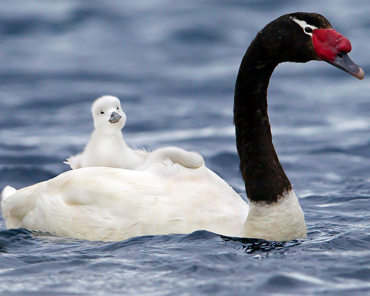 This photograph of a Black-necked Swan with newborn chick on her back was captured in the Patagonia area of Chile (1/12).  This photograph is protected by the U.S. Copyright Laws and shall not to be downloaded or reproduced by any means without the formal written permission of Ken Conger Photography.