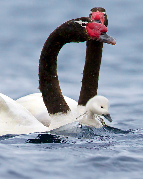 This photograph of a pair of Black-necked Swan with a chick was captured in the Patagonia area of Chile (1/12).  This photograph is protected by the U.S. Copyright Laws and shall not to be downloaded or reproduced by any means without the formal written permission of Ken Conger Photography.