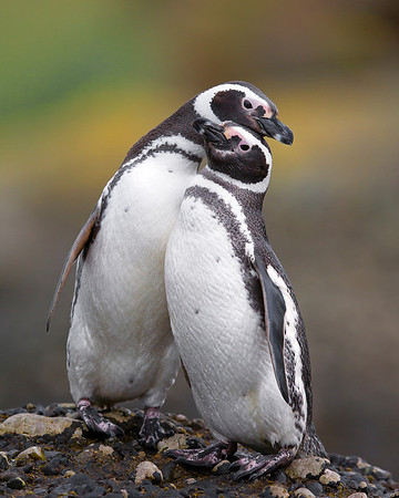This photograph of a pair of Magellanic Penguins was captured in the Patagonia area of Chile (1/12).  This photograph is protected by the U.S. Copyright Laws and shall not to be downloaded or reproduced by any means without the formal written permission of Ken Conger Photography.