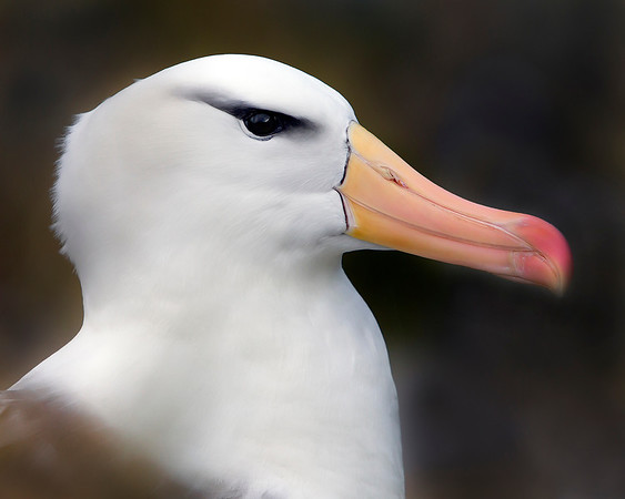 This photograph of a Black-browed Albatross was captured in the Patagonia area of Chile (1/12).  This photograph is protected by the U.S. Copyright Laws and shall not to be downloaded or reproduced by any means without the formal written permission of Ken Conger Photography.