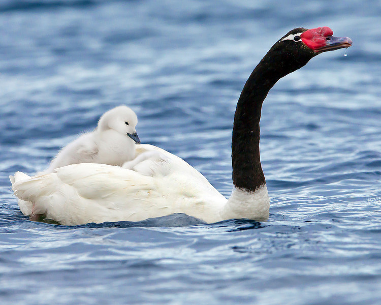 This photograph of a Black-necked Swan with a chick was captured in the Patagonia area of Chile (1/12).  This photograph is protected by the U.S. Copyright Laws and shall not to be downloaded or reproduced by any means without the formal written permission of Ken Conger Photography.